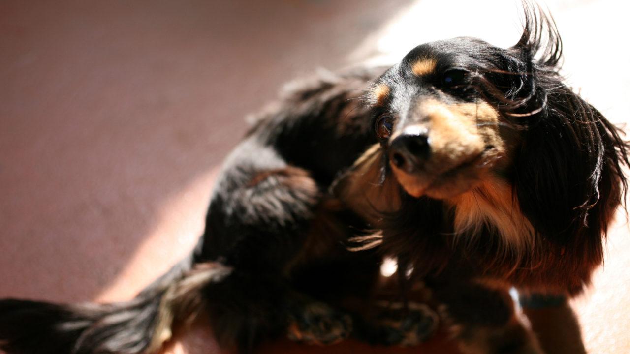 犬 ヘルニア 症状 予防