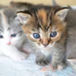 子猫の育て方と、お迎えする前に知っておいた方が良い事