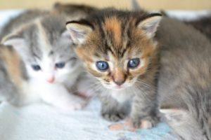子猫 育て方